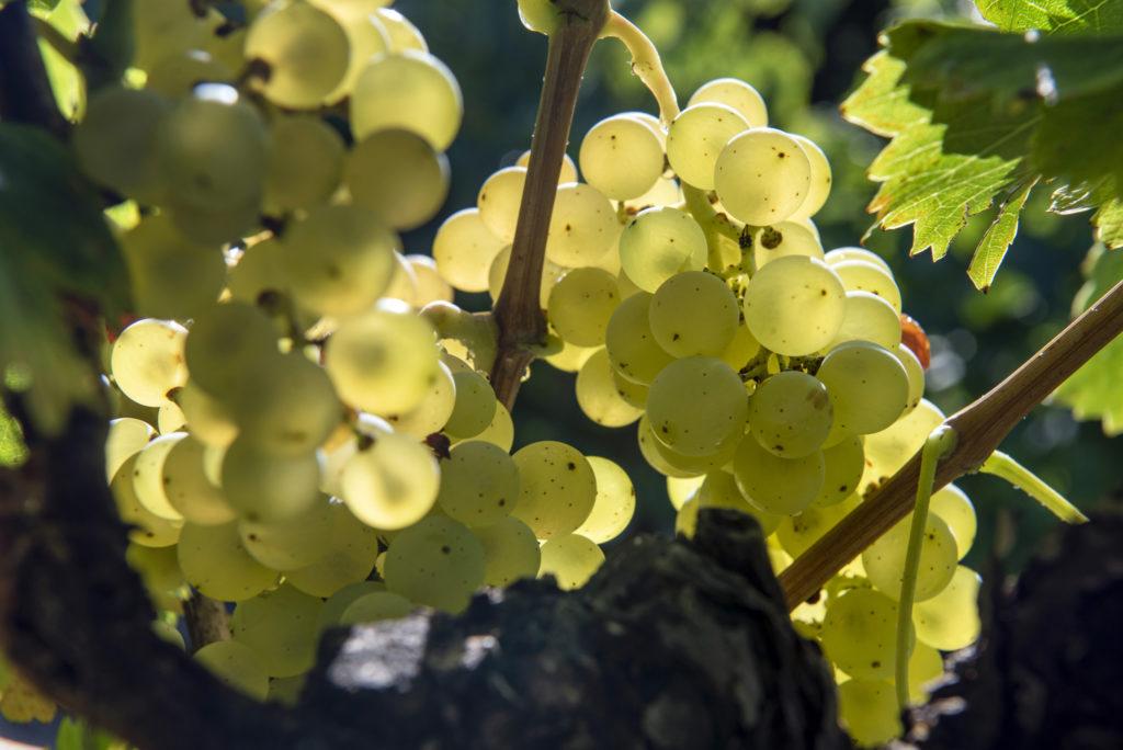 grappes raisin blanc pierrevert