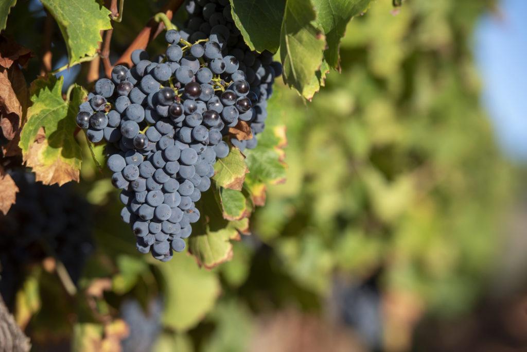 Grappe raisin noir vignes pierrevert